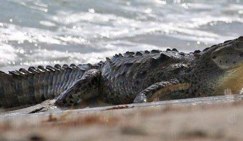 Your New Neighbor? A Crocodile