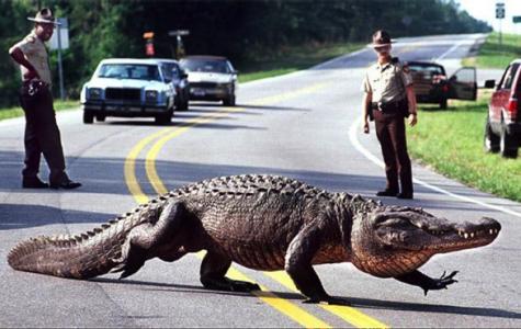 Florida's Alligator Issue