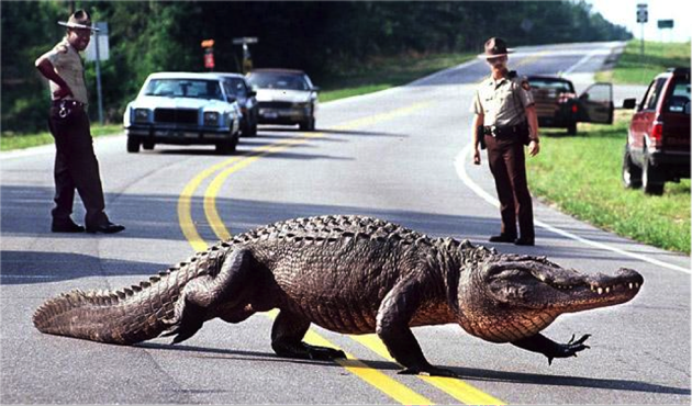 An+alligator+crossing+a+freeway.