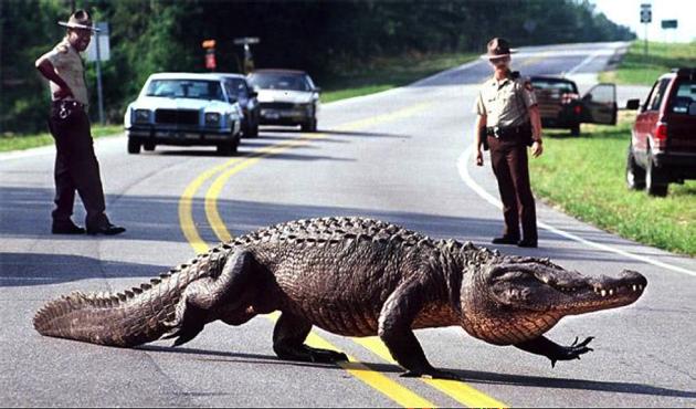 An alligator crossing a freeway.