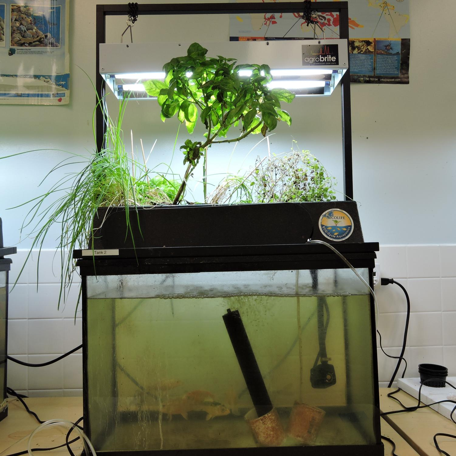 A miniature aquaponics system in Mr. Hagerty's room.