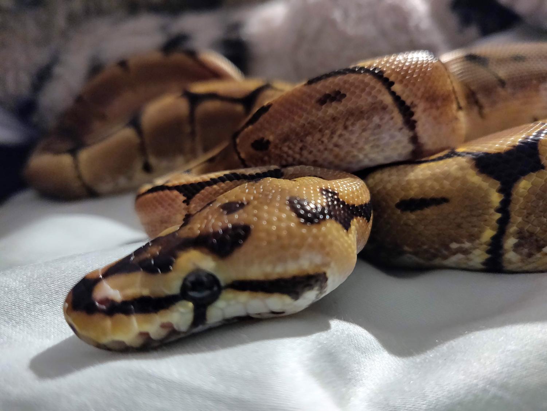 Gabriella Ortiz's snake Jötunheimr. He's a 5 month old ball python.