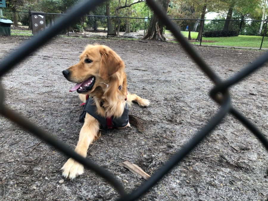 Tipsy, a golden retriever rescued from a Chinese meat market, takes a break from frolicking at a local dog park. She was found on the streets of China, dirty, malnourished and missing a leg. Golden Retrieve Rescue South Floirda  made sure she got a second chance at life.