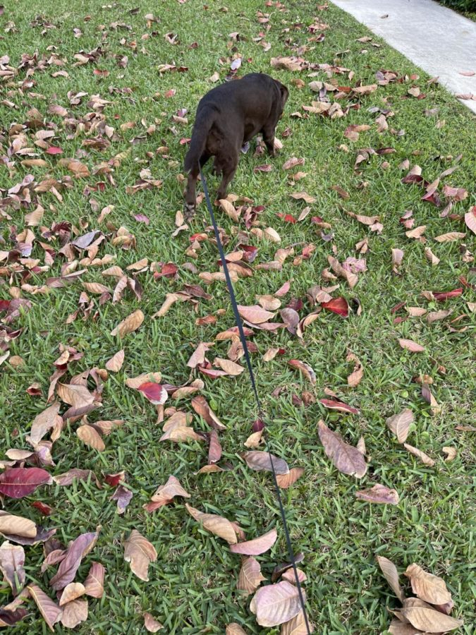 Noel (Chocolate Lab) sniffs around at the Park on Friday after school. This was her first time out of the house.